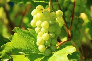 grapes-276070_1280